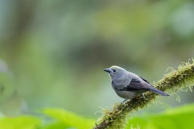 Palm Tanager - Mindo, Ecuador