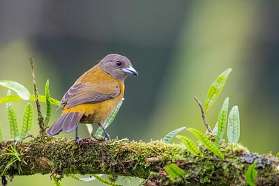 Passerini's Tanager - Alajuela, Costa Rica