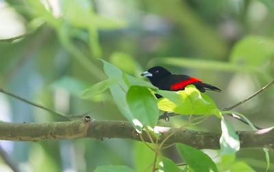 Passerini's Tanager - Selva Verde, Costa Rica