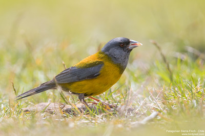 Patagonian Sierra-Finch - Chile