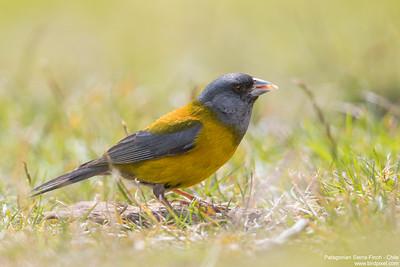 Patagonian Sierra-Finch - Chile