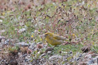 Patagonian Yellow-Finch - Chile