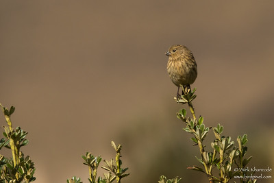 Plain-colored Seedeater - Female - Antisana, Ecuador