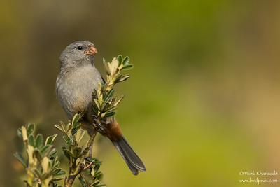 Plain-colored Seedeater - Male - Antisana, Ecuador