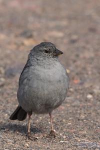 Plumbeous Sierra-Finch - Antisana, Ecuador