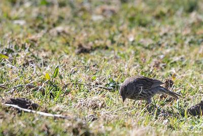 Plumbeous Sierra-Finch - Record - Antisana Ecological Preserve, Ecuador