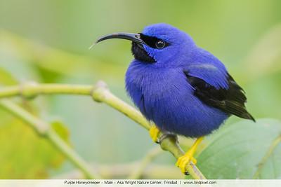 Purple Honeycreeper - Male - Asa Wright Nature Center, Trinidad