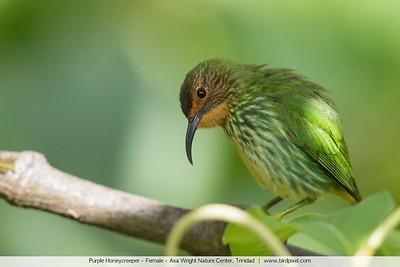 Purple Honeycreeper - Female - Asa Wright Nature Center, Trinidad