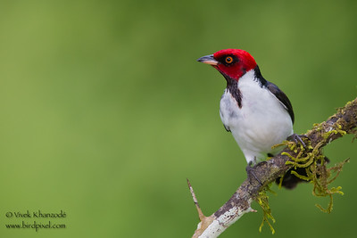 Red-capped Cardinal - Amazonia Lodge, Nr. Manu National Park, Peru