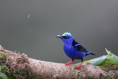 Red-legged Honeycreeper - Alajuela, Costa Rica