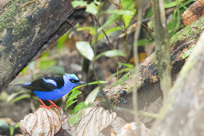 Red-legged Honeycreeper - Record - Gilpin Trace, Tobago
