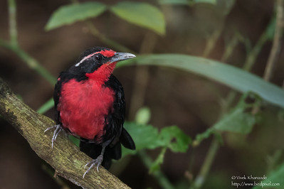 Rosy Thrush-Tanager - Gamboa Rainforest Resort, Gamboa, Panama