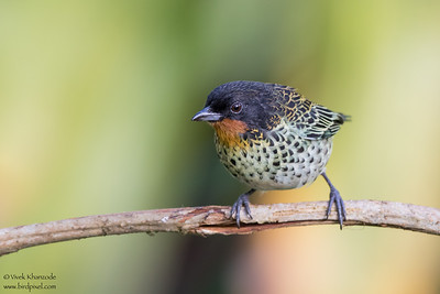 Rufous-throated Tanager - Mashpi, Ecuador