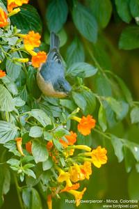 Rusty Flowerpiercer - Minca, Colombia