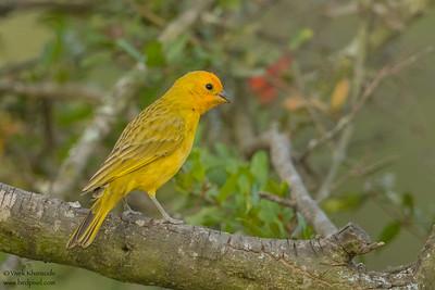 Saffron Finch - Puembo, Ecuador