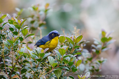 Santa Marta Mountain-Tanager - Minca, Colombia
