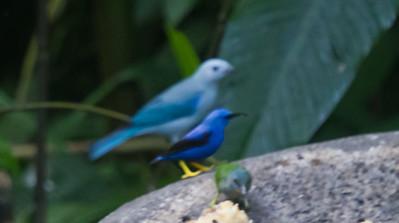Shining Honeycreeper - Record - Selva Verde, Costa Rica