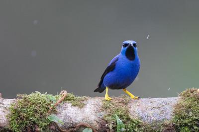 Shining Honeycreeper - Alajuela, Costa Rica
