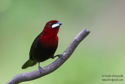 Silver-beaked Tanager - Male - Amazonia Lodge, Nr. Manu National Park, Peru
