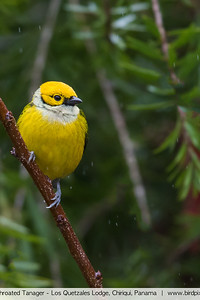 Silver-throated Tanager - Los Quetzales Lodge, Chiriqui, Panama