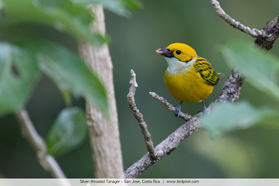 Silver-throated Tanager - San Jose, Costa Rica