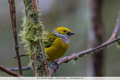 Silver-throated Tanager - Mindo, Ecuador