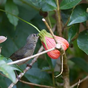 Slaty Flowerpiercer - Savegre, Costa Rica