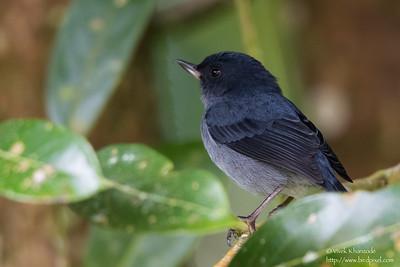 Slaty Flowerpiercer - Male - Los Quetzales Trail, Guadalupe, Panama