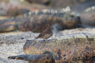 Small Ground-Finch - Punta Espinosa, Isla Fernandina, Galapagos, Ecuador