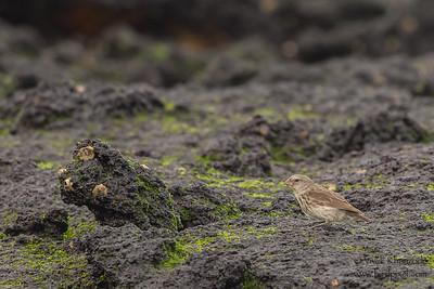 Small Ground-Finch - Punta Albemarle, Isla Isabela, Galapagos, Ecuador