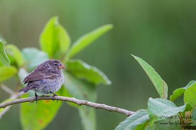 Small Ground-Finch - Isla Santa Cruz, Galapagos, Ecuador
