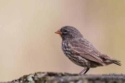 Small Ground-Finch - Urvina Bay, Isla Isabela, Galapagos, Ecuador