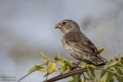 Small Ground-Finch - Urvina Bay, Isla Isabela, Galapagos, Ecuador