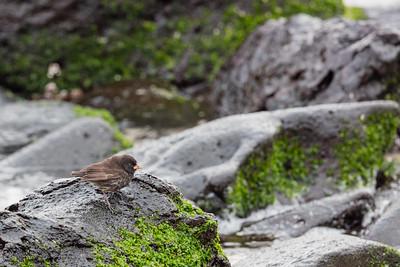 Small Ground-Finch - Galapagos, Ecuador