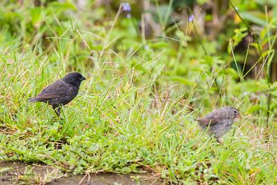 Small Ground-Finch -Isla Floreana, Galapagos, Ecuador