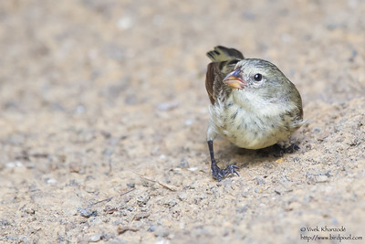 Small Tree-Finch - Isla Floreana, Galapagos, Ecuador