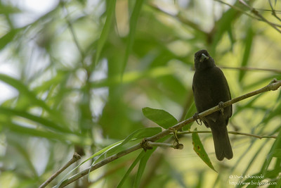 Sooty Grassquit - Record - Blanchiseusse Rd, Trinidad