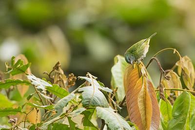 Spotted Tanager - Record - Sumaco, Ecuador