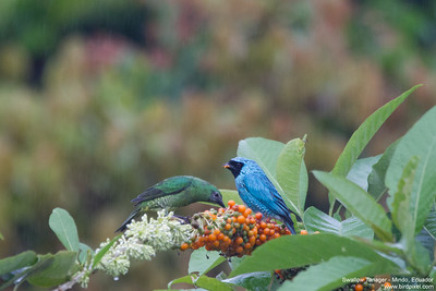Swallow Tanager - Mindo, Ecuador