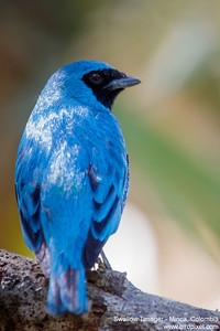 Swallow Tanager - Minca, Colombia