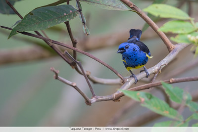 Turquoise Tanager - Peru