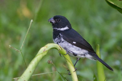 Variable Seedeater - Pacific Race - Osa, Costa Rica