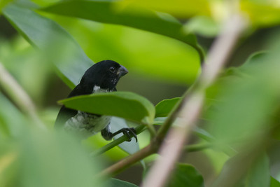 Variable Seedeater - Pacific Race - Costa Rica