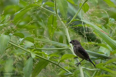 Variable Seedeater - Pedro Miguel, Colon, Panama