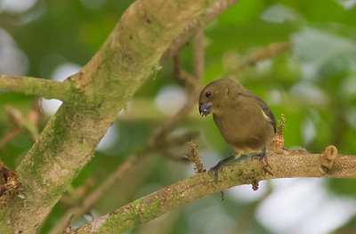 Variable Seedeater - Female - Record - Arenal, Costa Rica