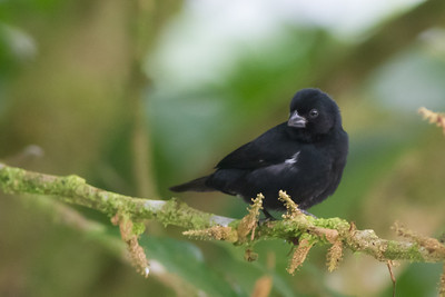 Variable Seedeater - Male - Record - Arenal, Costa Rica