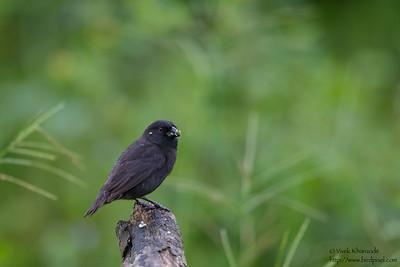 Vegetarian Finch - Record - Galapagos, Ecuador