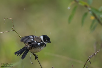 White-collared Seedeater - Crooked Tree, Belize