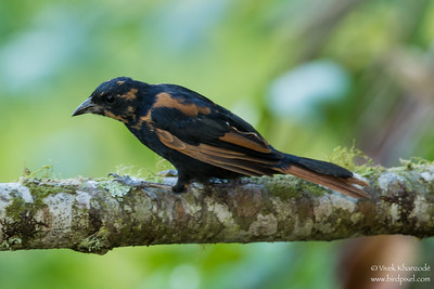 White-lined Tanager - Record - Mindo, Ecuador