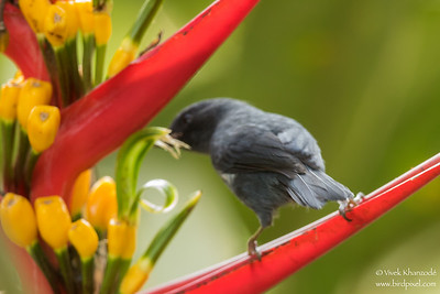 White-sided Flowerpiercer - Record - Mindo, Ecuador